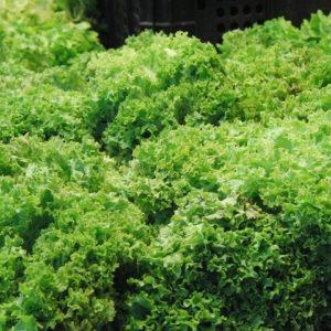 Collectif d'Urgence Salade Scarole