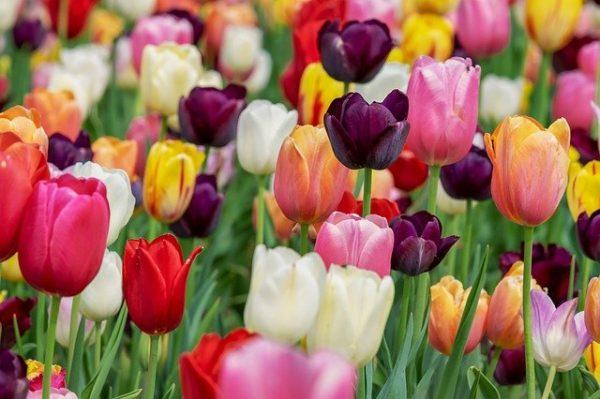 Collectif d'Urgence - Tulipes