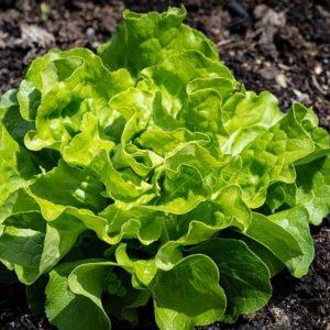 Collectif d'Urgence Salade Laitue
